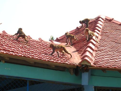 Monkey break-out