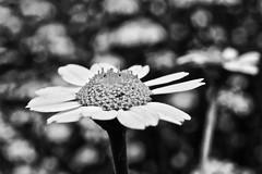 BW-okeh (hiskinho) Tags: bw flower macro bokeh flor bn margarita insecto