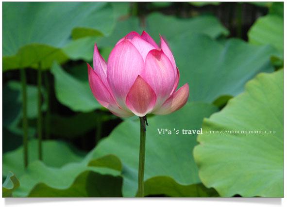 2009蓮花季-中興新村蓮花