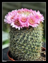 Mammillaria Zeilmanniana Hybrid (david_phil) Tags: flowers cactus plants cacti mammillaria zeilmanniana