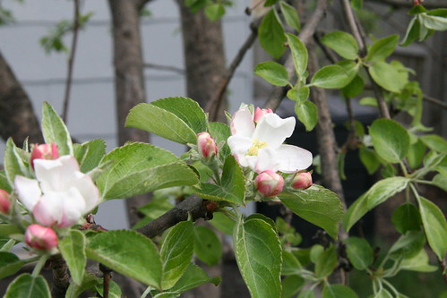 apple tree blooms