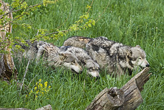 The Pack (MattGerlachPhotography) Tags: pictures photography forsale wildlife fineart pack prints sell hunt sneek greywolf wolfpark lafayetteindiana battlegroundindiana 3wolves mattgerlachphotography mattgerlach