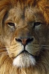 Scar Face (lens buddy) Tags: cats canon zoo wildlife lion sigma bigcats wildlifeheritagefoundation flickrbigcats bigcatsafari dmcphotographycollege