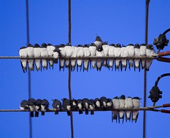 BIRDS ON THE WIRE (petefeats) Tags: birds rockhampton whitebreastedwoodswallow