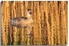 Reflejos (manel pons) Tags: pato reflejo catalunya laguna tarragona deltadelebre montsia deltadelebro larapita encanyissada santcarlesdelarapita manolopons manelpons montsi