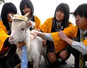 Station Master goat