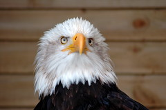 Bald Eagle (Norny Forbes) Tags: ireland bird eagle beak feathers bald prey moira northern falcons pheonix gamefair