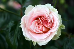 Rose! (Thumbnail)