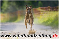 Whippet Maxi beim Training
