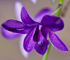 purple orchid (Wils 888) Tags: flowers blue orchid flower macro closeup lens nikon purple orchids blossom blossoms micro f28 105mm d90 nikond90