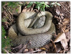 Passejant dins del bosc (122) (llumimirada) Tags: macro snake olympus catalonia catalunya catalua serpiente marga serp catalonie animalkingdomelite llumimirada