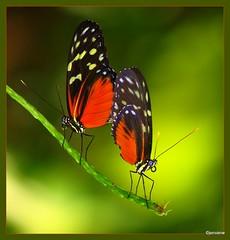 Caribbean Love (JenvanW) Tags: orange sunlight black macro green bravo butterflies mating caribbean mates hecaleslongwing branche yellowspots colorphotoaward platinumheartaward colorsofthesoul bestofmywinners