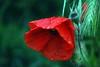 papavero (Liberty Place) Tags: red flower macro verde green fleur rouge flor drop vert poppy fiore rosso pioggia gocce papavero spiga naturesfinest colorphotoaward colourartaward goldstaraward naturethroughthelens