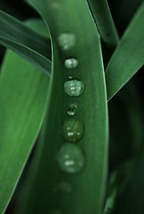 SixtyTwo (Lesafalee) Tags: green water rain drops waterdrops d60 aphotoaday 365project