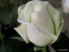 Rosas (Aysha Bibiana Balboa) Tags: paisajes paris flores grancanaria mar sevilla rboles granada nubes tenerife atardeceres rosas marruecos dunas reflejos laponia desiertos efectosedaegipto turauia lanzaroteamanecer