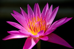 Resonating Beauty! (ineedathis, Everyday I get up, it's a great day!) Tags: pink flower macro nature beauty yellow garden pond nikon waterlily exotic watergarden tropical waterflower d80 hppt