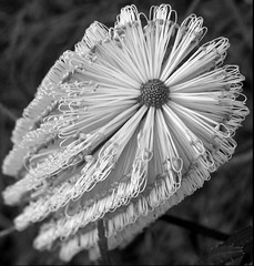 banksia... (YAZMDG (15,000 images)) Tags: flowers bw black flower sepia dark studio lowlight flora noir gloomy y noiretblanc tint nb sombre nsw ambient banksia blackout plantae protea yaz obscure obscur melancholic absence shadowy proteas kangaroopaw mullumbimby geraldtonwax hinterland proteaceae melancholie dicksonia grevilleas lacunae proteales xanthorrhea xanthorea callistemons faunaofaustralia indigenousflora lacune australianspecies nswrfp yazminamicheledegaye yazmdg floraofoz florafaunaofoz obscuritee ystudio wildandnativeflora cllistemon leucodendrums