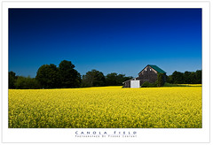 Canola Field (Pierre Contant) Tags: summer vacation ontario canada tourism yellow photoshop nikon flickr pierre nikkor 1870mm countryroad hwy6 rapeseed saugeenshores d300 cs4 contant shallowlake omot southbruce pierrecontant
