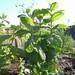 mentha rotundifolia / witte munt