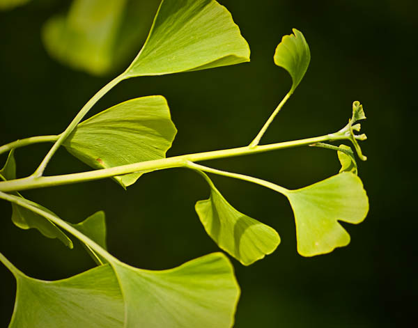 Gingko Leaves at Allen Centennial Garden in MAdison Wisconsin