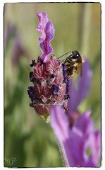 Bee on lavender (Patxi Goicolea@GFP) Tags: plant planta nature animal forest flor lavender bee bosque abeja wildlike ial lavandnsect