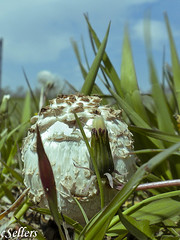 A stranger (revoneb) Tags: usa color mushroom grass weeds balls iowa toadstool siouxcity dandlelions