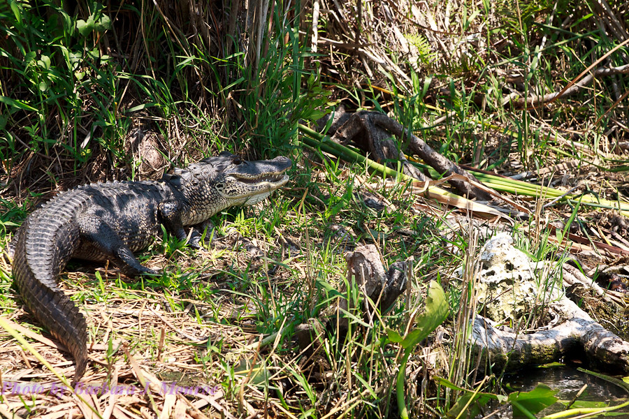 Everglades-Airboat Tour (8 of 16)
