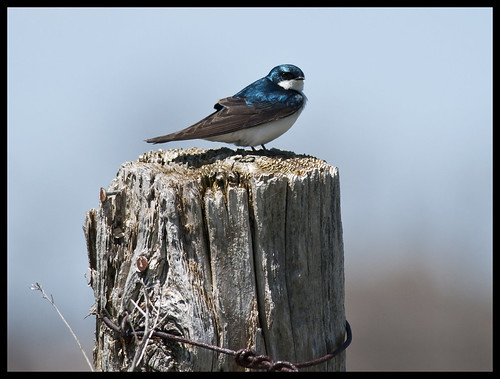 Tree swallow 3 by Jen St. Louis
