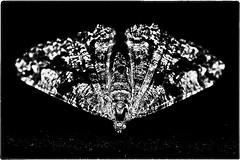 ... IMG_3604/c (*melkor*) Tags: light blackandwhite bw stilllife black art monochrome dark geotagged dead darkness moth experiment minimal conceptual deadmoth obscurity melkor trashbit abeautifuldeadii amothslastflightproject themonochromeone