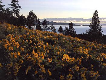 Arrowleaf Balsam Root & Flathead Lake