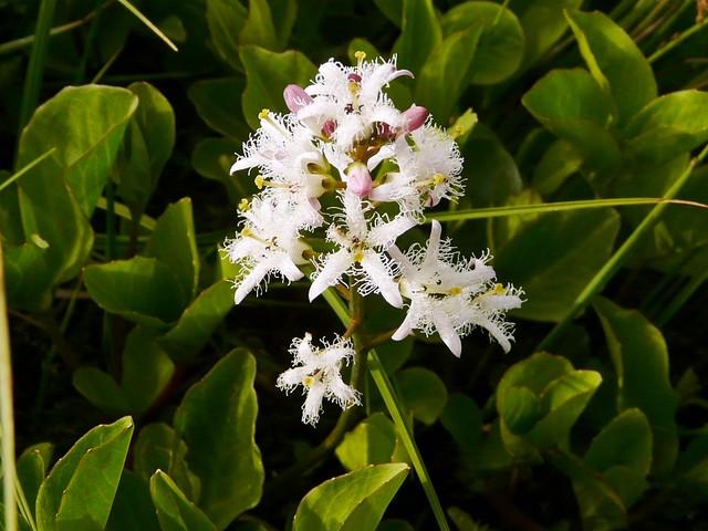 Trèfle d'eau = Menyanthes trifoliata