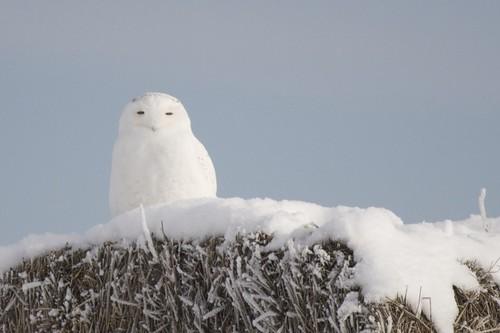 01_10_09 Snowy Owl