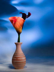 Orange Calla Lily (Lloyd K. Barnes Photography) Tags: flowers blue stilllife orange flower art bulb painting lights lily calla artistic fine creative olympus lilies paintingwithlight vase pottery remote zantedeschia rm1 i500 interestingness449 lloydbarnes theperfectphotographer explore20090112 lloydkbarnes