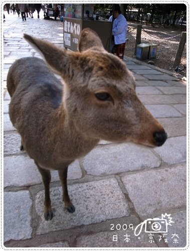 奈良的鹿 (2)