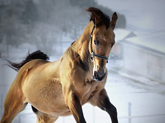 the power of gold (Dan65) Tags: winter horse white snow ice gold golden bravo run explore 13 canter gallop buckskin dun teke akhal akhalteke gazan