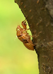 cicadas shell by arfi binsted '09