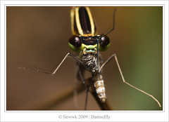 7.5 Damselfly ... eating a mosquito ...