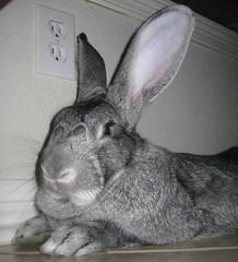 dewlap? (mbkepp) Tags: rabbit bunny buster dewlap giantflemish