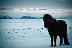 Black Magic!! (~JNA~) Tags: winter sky horse snow black iceland vestmannaeyjar sland snjr vetur sk blackmagic hestar suurland mywinners landeyjar snotra goldenheartaward hestarsnortu