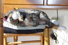 Gracie 30 October 2008 009b 4x6 (edgarandron - Busy!) Tags: cats cute cat gracie tabby kitty tortoiseshell kitties tortie torbie blueribbonwinne