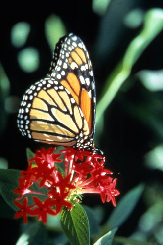 Monarch butterfly on Pentas flower at the Butterfly World attraction in Coconut Creek, Florida