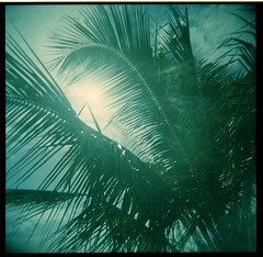 Vieques Palm Tree (Holga) (Squid Ink) Tags: 120 holga puertorico palmtrees caribbean vieques