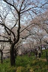 09 Hanami (nomachishinri) Tags: japan  sakura saitama hanami   sugito