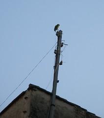 perdido (Chusep) Tags: city roof bird landscape lost parrot ciudad pajaro tejado loro pardal perdido cotorra
