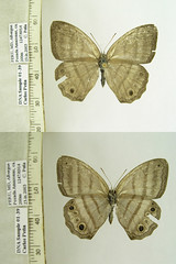 Magneuptychia ocypete