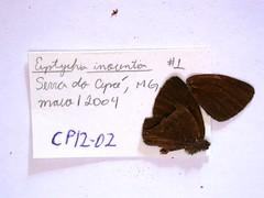 Pharneuptychia innocentia