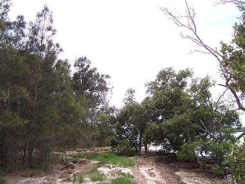 Casuarinas & mangroves Pelican Island Woy Woy