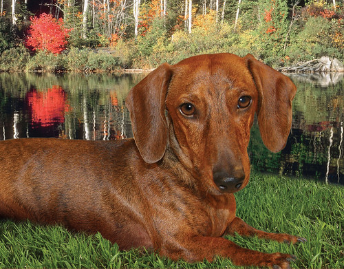 "Wyatt, Mr. November 2009 ""Rescue Dachshund"""