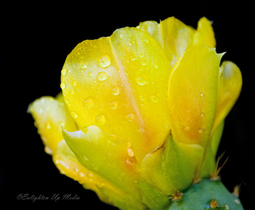 Yellow Cactus Flower On Black Background