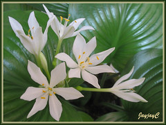 Hosta flowers - such radiance and beauty!